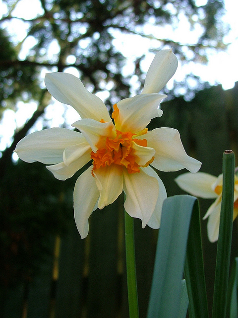 double yellow daffodil from Mull stopwatch gardener