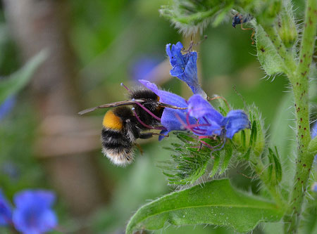Vipers-bugloss-and-bumblebee