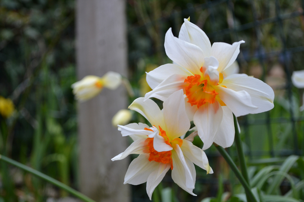 Feu de Joie narcissus a double daffodil