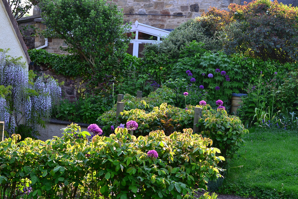 May garden with wisteria and alliums