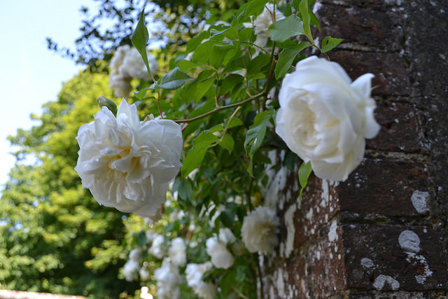Rosa Lamarque from Mottisfont Abbey