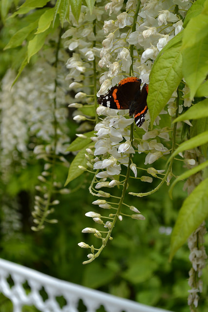 white wisteria and red admiral at Hidcote